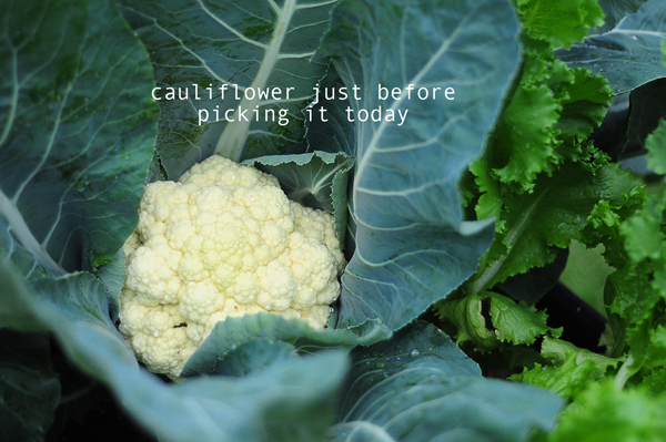 how-to-garden-cauliflower-041613