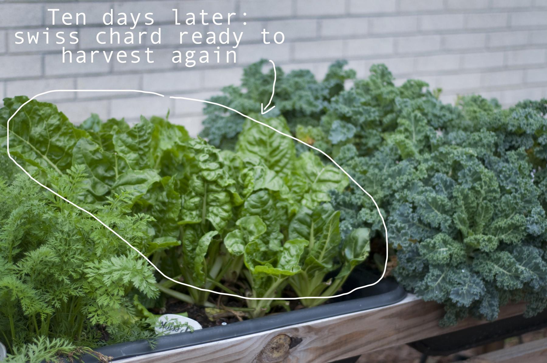 Swiss chard: harvest, wait ten days, repeat...