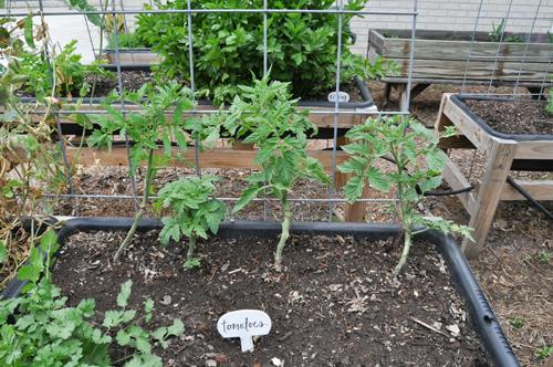 tomato family on the trellis raised urban gardens