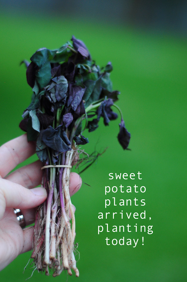 how-to-garden-sweet-potatoes-my-raised-urban-garden-050913-12
