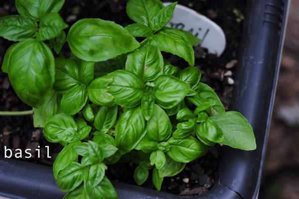 how-to-garden-sweet-potatoes-my-raised-urban-garden-050913-61