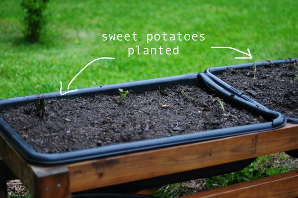 how-to-garden-sweet-potatoes-my-raised-urban-garden-050913-67