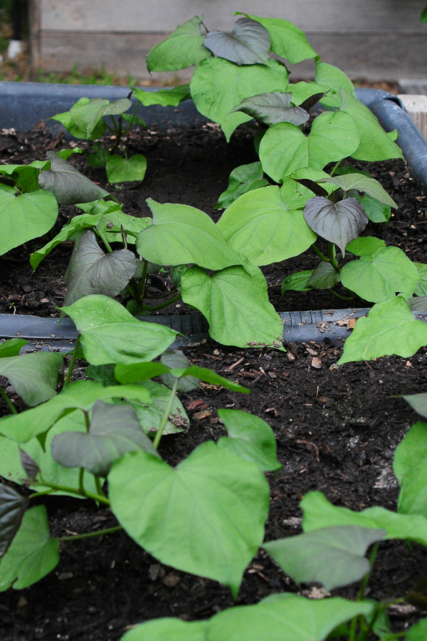 how-to-grow-a-raised-bed-garden-may-242013-mel-at-raised-urban-gardens-14