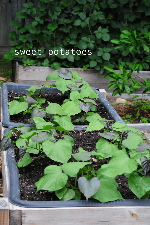 how-to-grow-a-raised-bed-garden-may-242013-mel-at-raised-urban-gardens-15