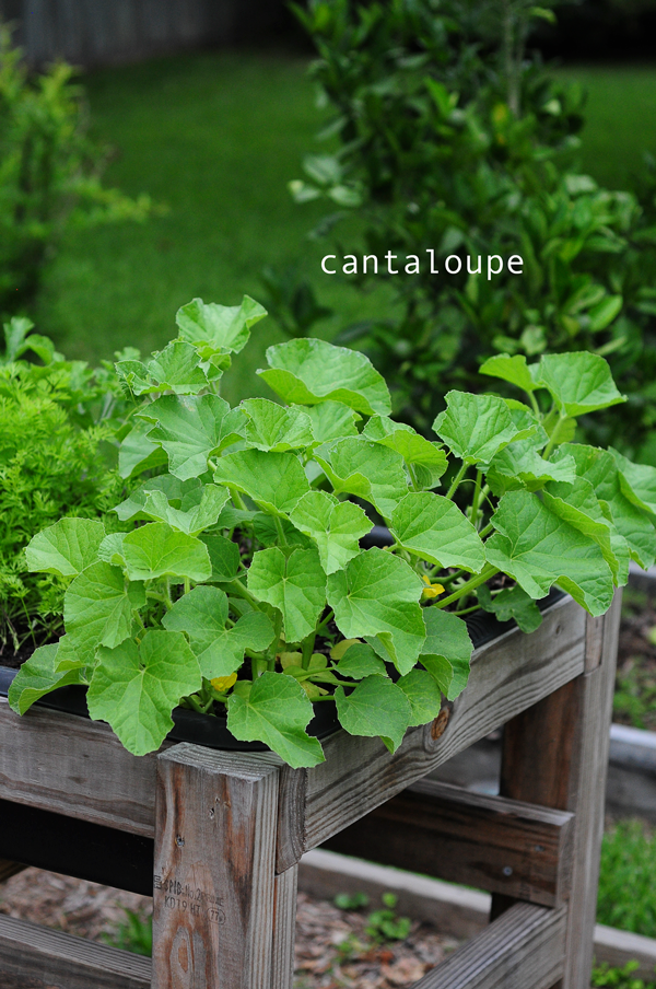how-to-grow-a-raised-bed-garden-may-242013-mel-at-raised-urban-gardens-20