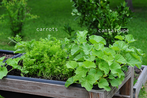 how-to-grow-a-raised-bed-garden-may-242013-mel-at-raised-urban-gardens-22
