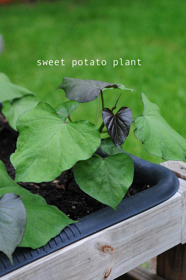 how-to-grow-a-raised-bed-garden-may-242013-mel-at-raised-urban-gardens-25