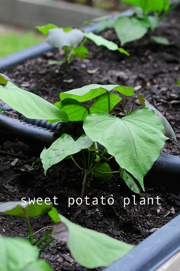 how-to-grow-a-raised-bed-garden-may-242013-mel-at-raised-urban-gardens-28