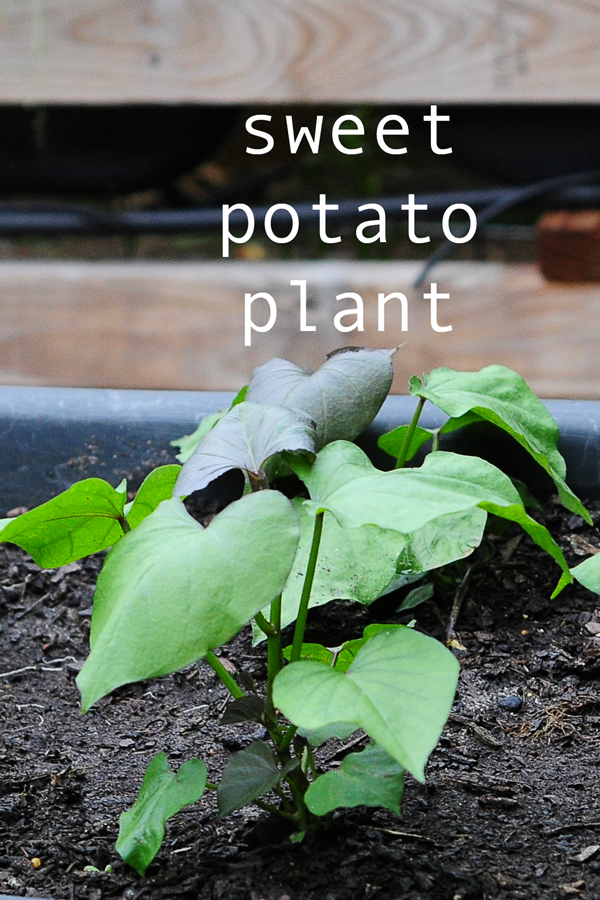 how-to-grow-a-raised-bed-garden-may-242013-mel-at-raised-urban-gardens-36