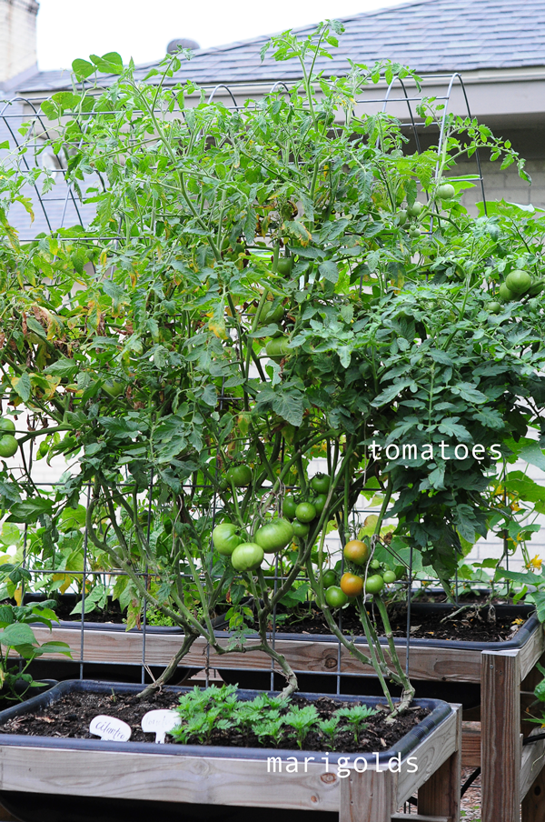 how-to-grow-a-raised-bed-garden-may-242013-mel-at-raised-urban-gardens-41