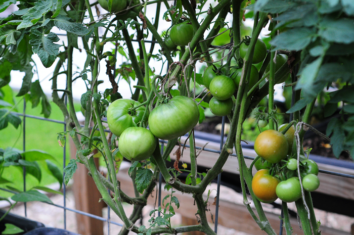 how-to-grow-a-raised-bed-garden-may-242013-mel-at-raised-urban-gardens-47