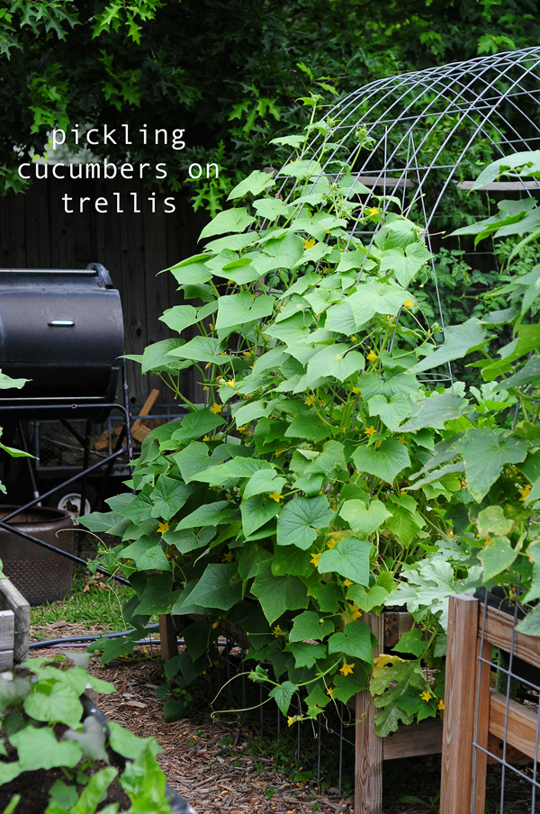 how-to-grow-a-raised-bed-garden-may-242013-mel-at-raised-urban-gardens-58