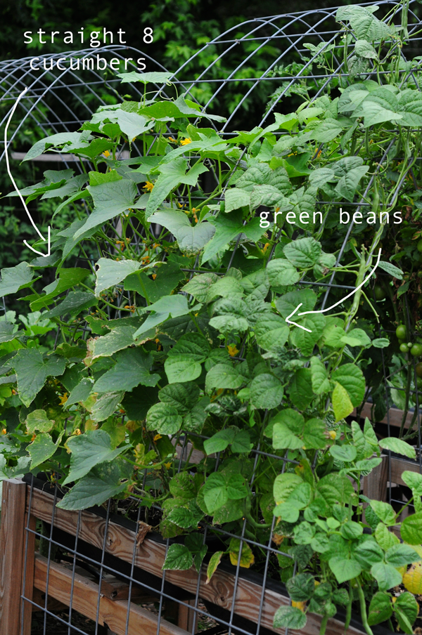 how-to-grow-a-raised-bed-garden-may-242013-mel-at-raised-urban-gardens-59