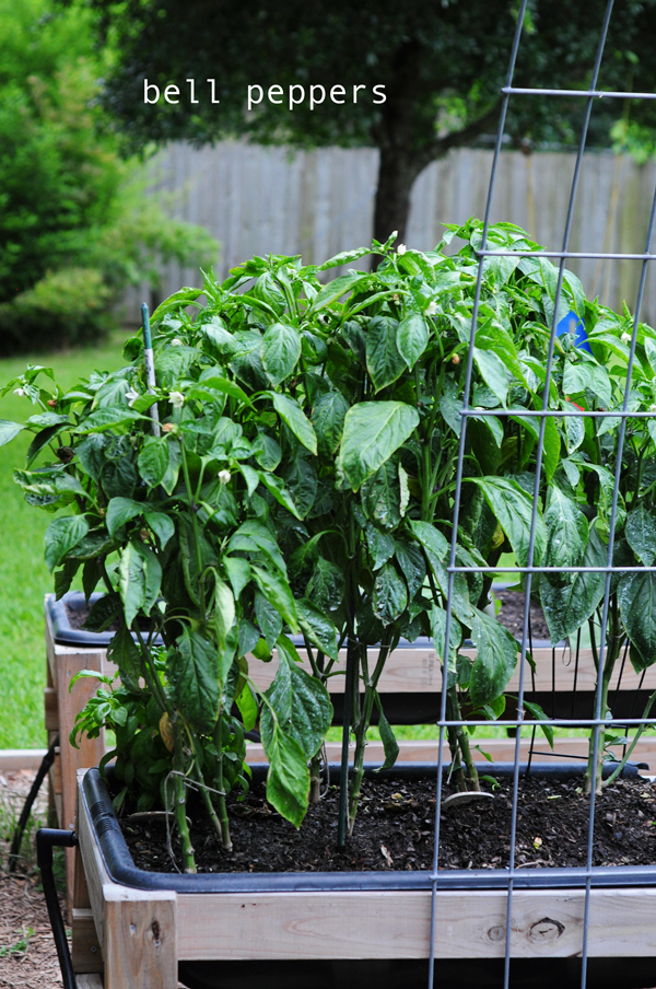 how-to-grow-a-raised-bed-garden-may-242013-mel-at-raised-urban-gardens-63