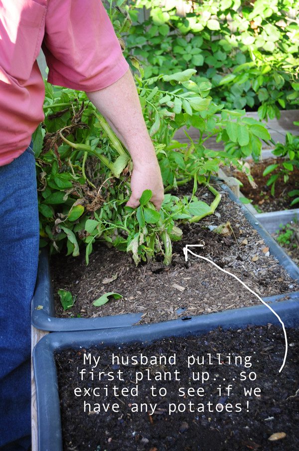 husband-pulling-potatoes-050713