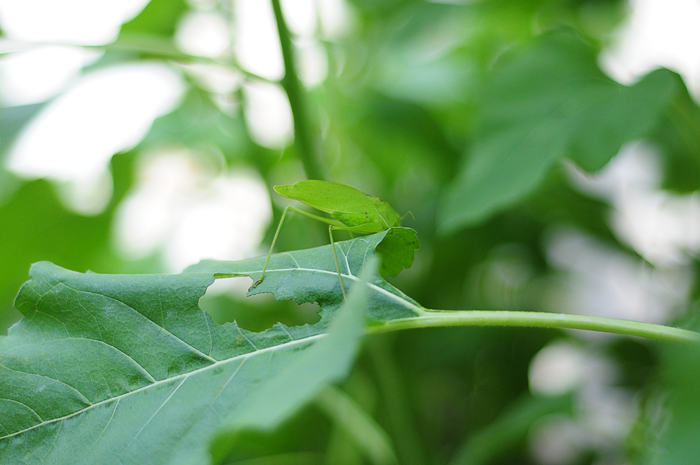 leaf-eater-on-leaf