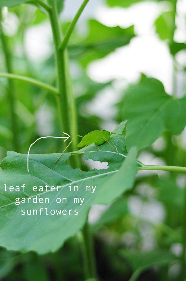 leaf-eater-on-sunflowers
