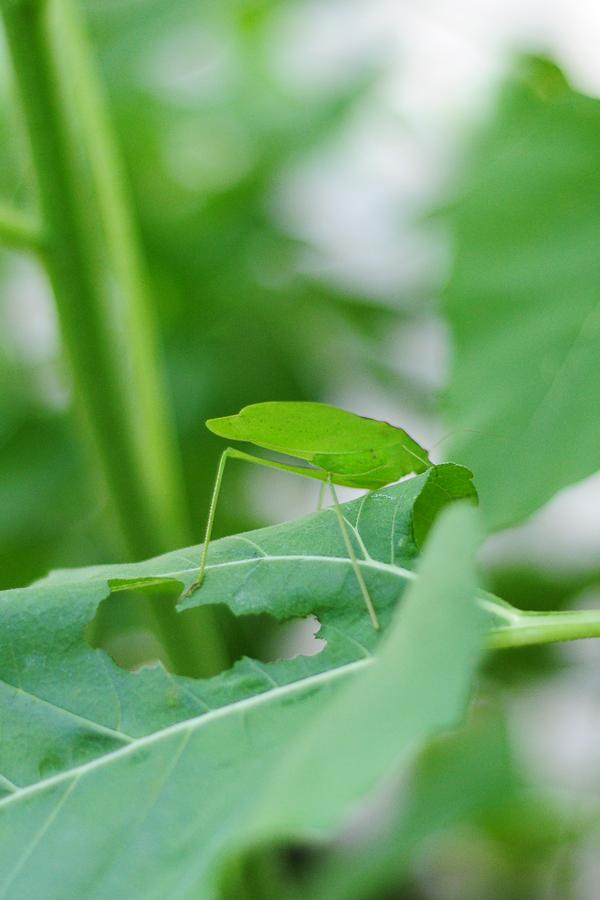leaf-eater