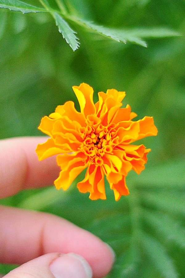 marigold-pic
