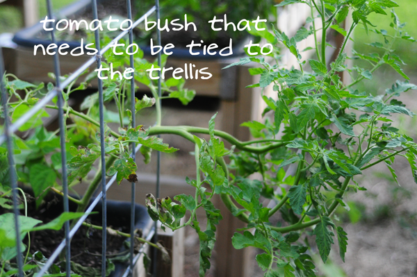 need-to-tie-tomato-bush