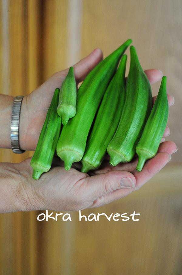 okra-harvest