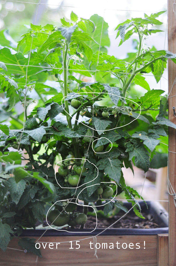 over-fifteen-tomatoes-how-to-garden-how-to-grow-your-own-food
