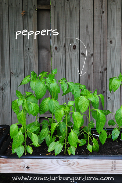 peppers-raisedurbangardens
