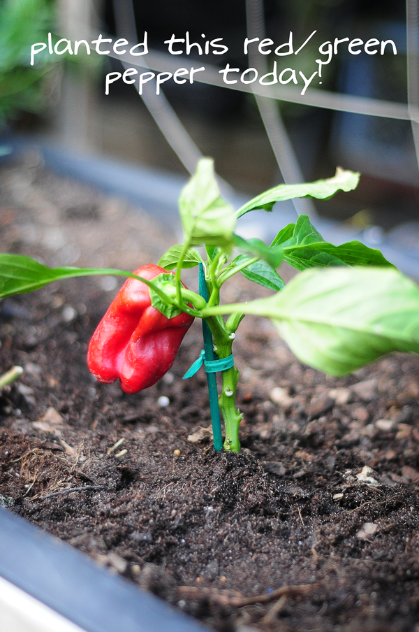 planted-red-pepper-today