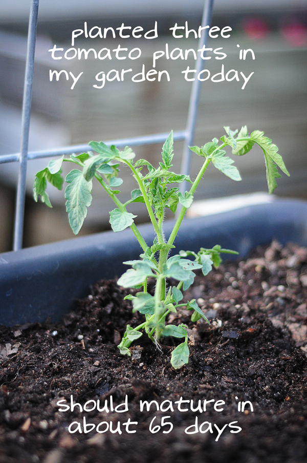 planted-three-tomato-plants-today