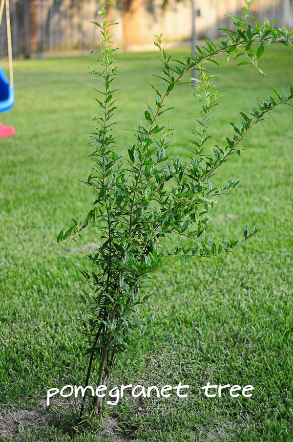 pomegranet-tree