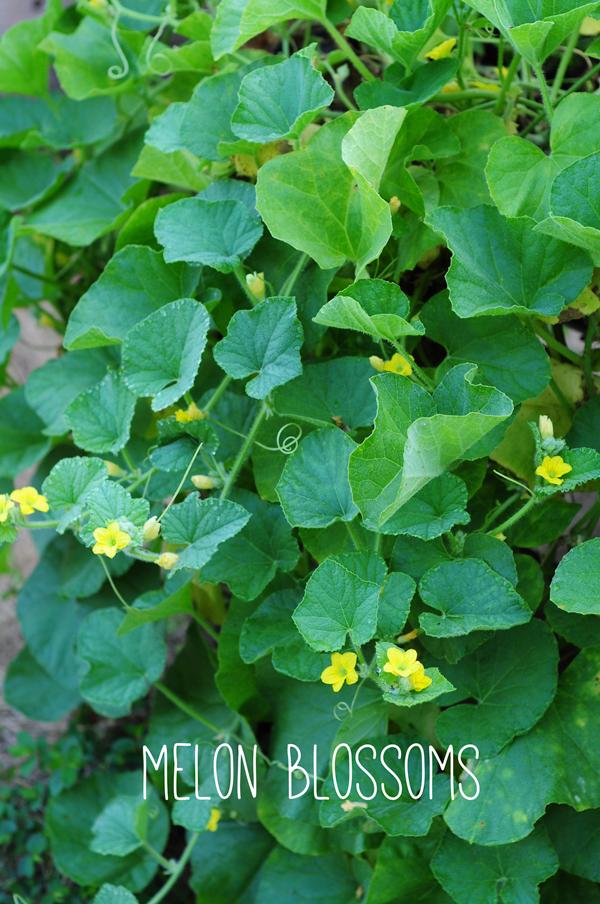 raised-urban-gardens-062113-how-to-garden-my-harvest-19