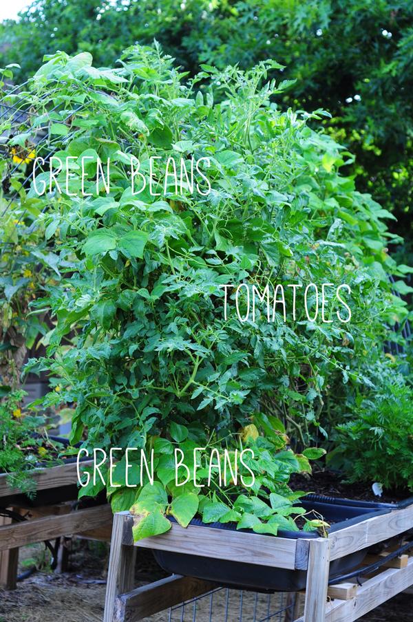 raised-urban-gardens-062113-how-to-garden-my-harvest-22