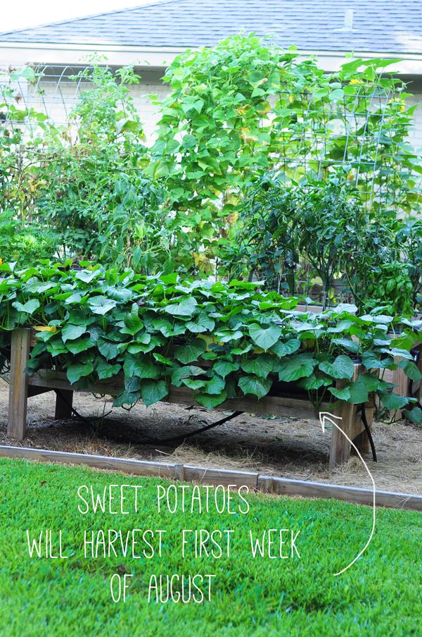 raised-urban-gardens-062113-how-to-garden-my-harvest-28