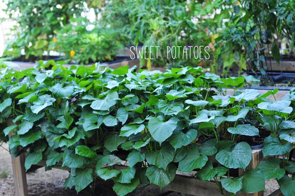 raised-urban-gardens-062113-how-to-garden-my-harvest-30