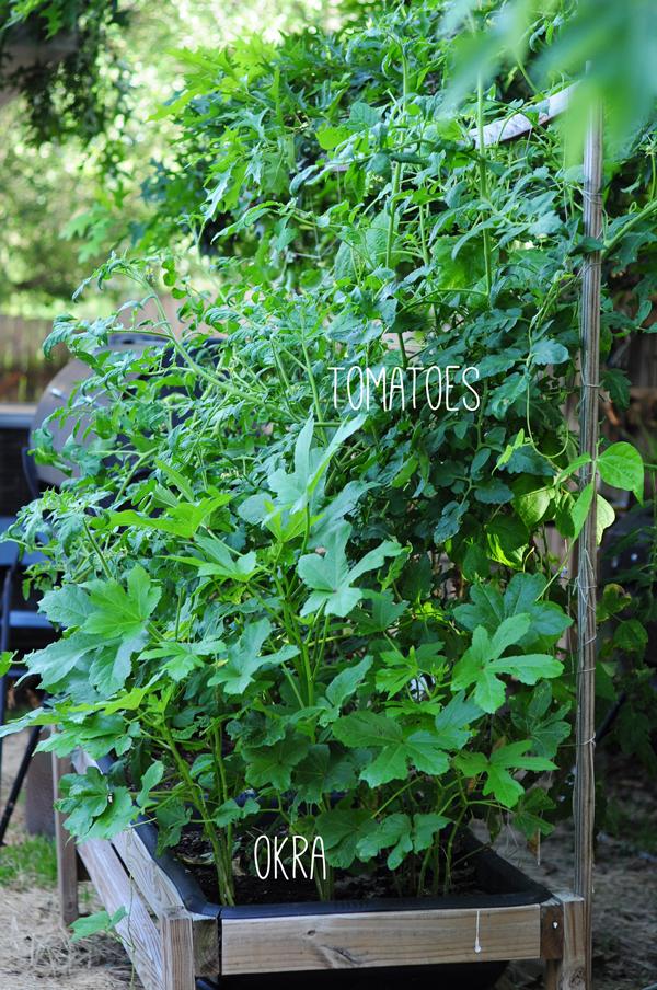 raised-urban-gardens-062113-how-to-garden-my-harvest-31