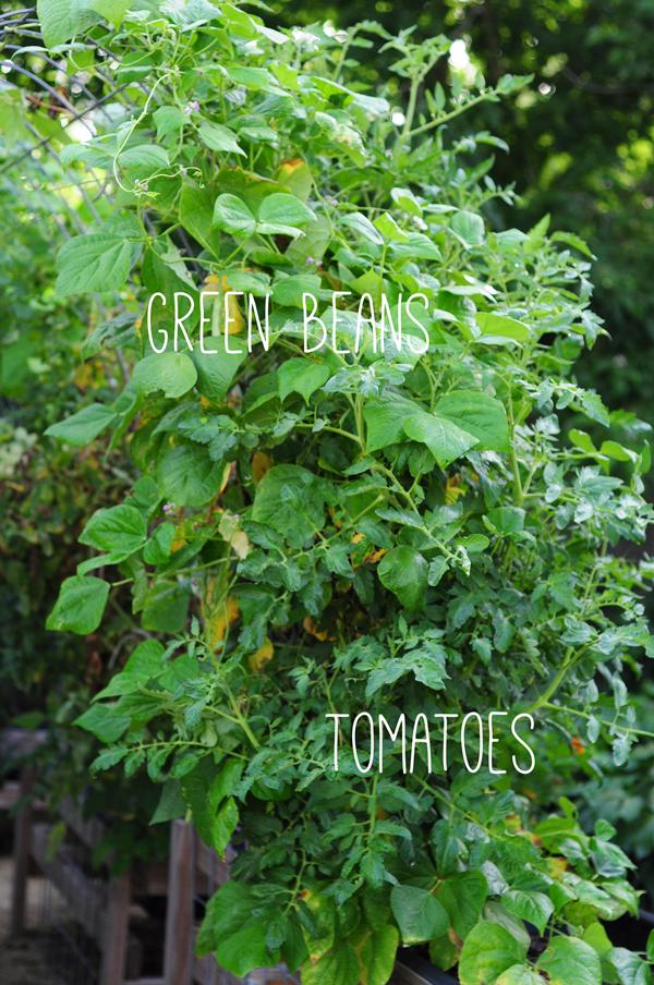 raised-urban-gardens-062113-how-to-garden-my-harvest-36