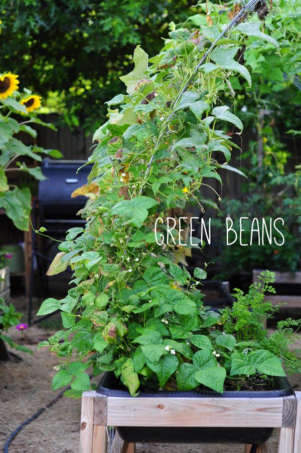 raised-urban-gardens-062113-how-to-garden-my-harvest-37
