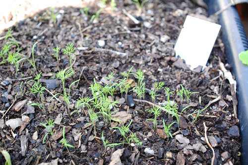 Fall/winter Garden Planted! » Start Of Winter Garden Dill Weed Sprouts