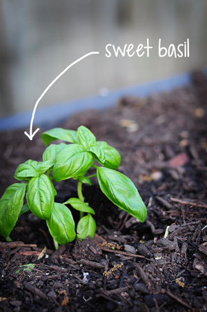 sweet-basil-2-raisedurbangardens