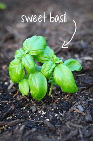 sweet-basil-raised-urban-gardens