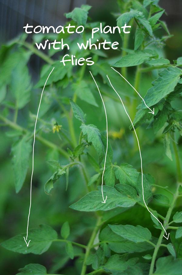 tomatoe-plant-with-white-flies