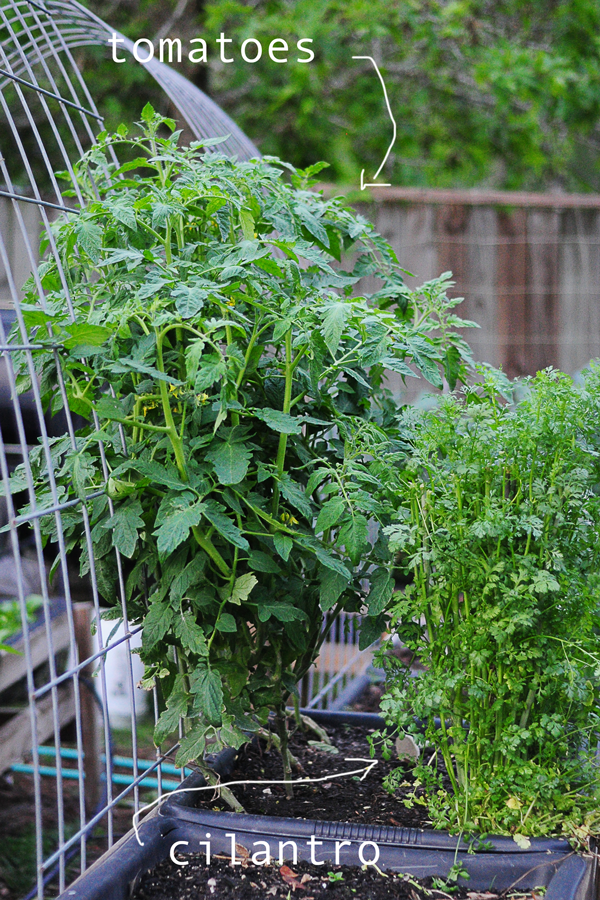 tomatoes-and-cilantro-041813