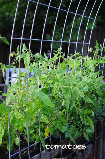 tomatoes-on-trellis