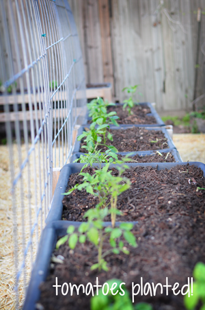 tomatoes-planted-raised-urban-gardens