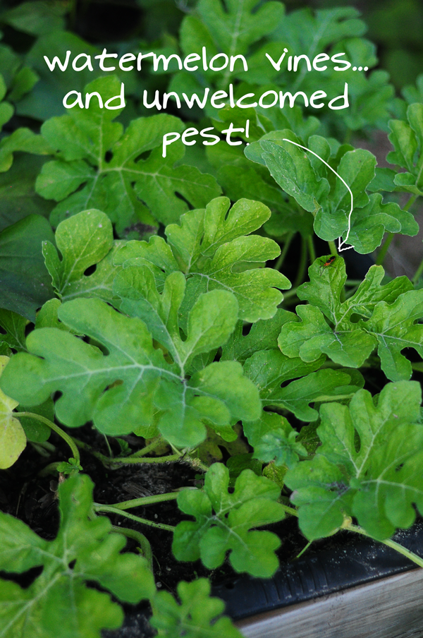 watermelon-vines-and-pest