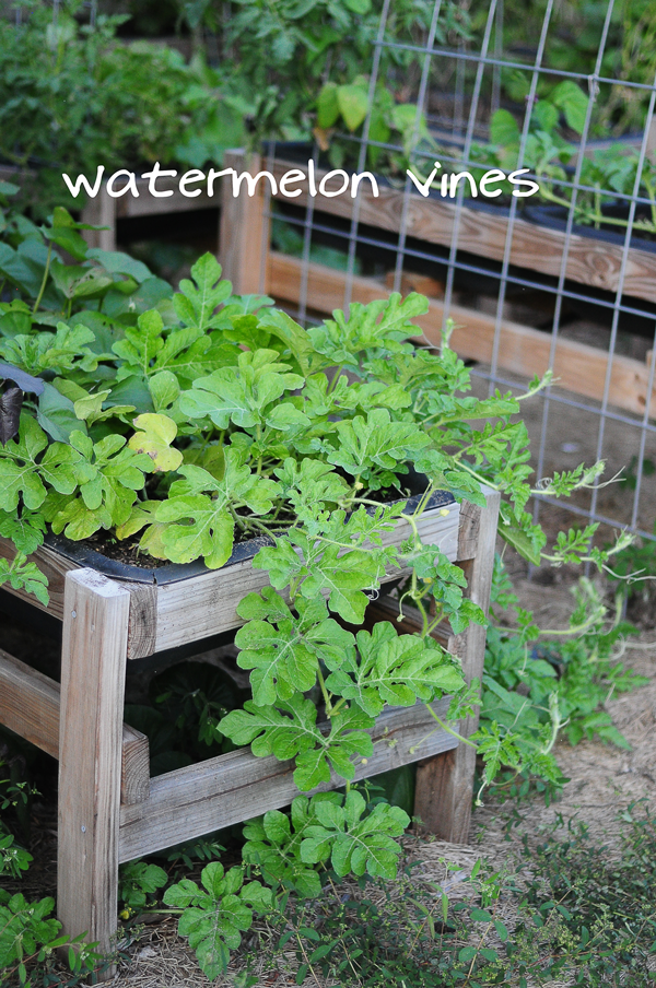 watermelon-vines