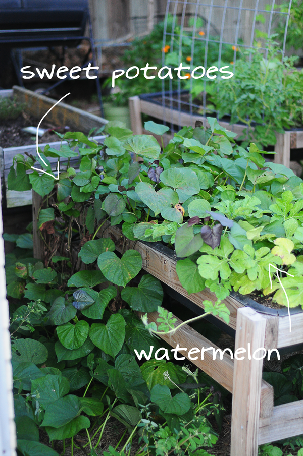 weet-potatoes-and-watermelon-vines