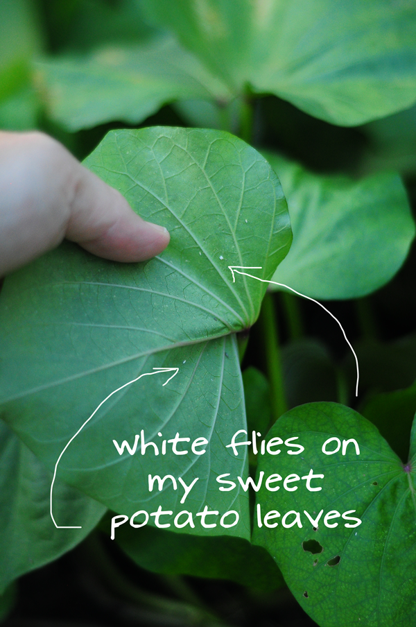 white-flies-on-sweet-potato-leaves