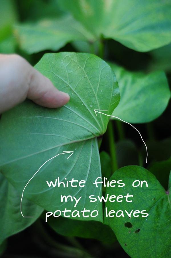 white-flies-on-sweet-potato-leaves