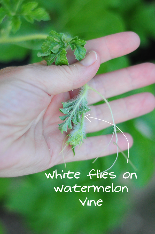 whtie-flies-on-watermelon-vine